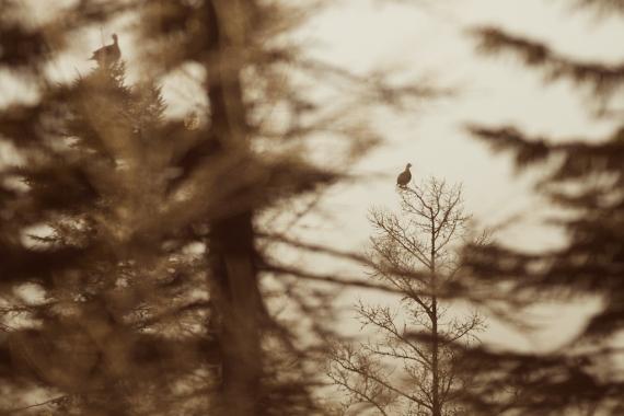Sharp-tailed Grouse Sax-Zim Bog MN IMG_0072674