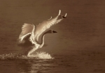 Trumpeter Swans 2 landing backlit sepia Monticello MNIMG_0073484