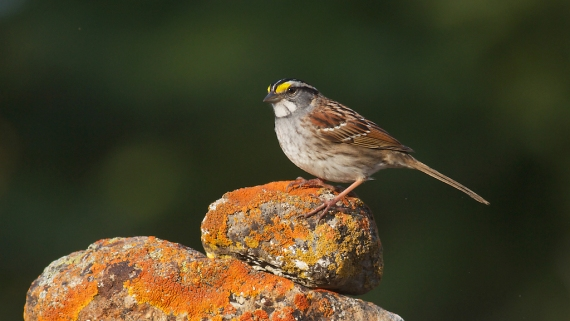 White-throated Sparrow Skogstjarna Carlton Co MN IMG_0324