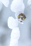 Yellow-rumped Warbler Skogstjarna Carlton Co MNIMG_7224