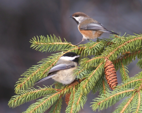 Boreal Chickadee and Black-capped Chickadee Admiral Rd feeder Sax-Zim Bog MN