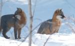 Gray Fox pair Welcome Center Owl Ave Sax-Zim Bog MNIMG_3647