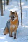 Gray Fox pair Welcome Center Owl Ave Sax-Zim Bog MNIMG_3700