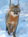 Gray Fox pair Welcome Center Owl Ave Sax-Zim Bog MNIMG_3703