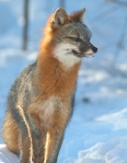 Gray Fox pair Welcome Center Owl Ave Sax-Zim Bog MNIMG_3710