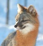 Gray Fox pair Welcome Center Owl Ave Sax-Zim Bog MNIMG_3713