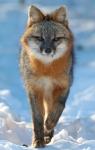 Gray Fox pair Welcome Center Owl Ave Sax-Zim Bog MNIMG_3716