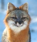 Gray Fox pair Welcome Center Owl Ave Sax-Zim Bog MNIMG_3717