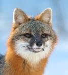 Gray Fox pair Welcome Center Owl Ave Sax-Zim Bog MNIMG_3751