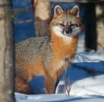 Gray Fox pair Welcome Center Owl Ave Sax-Zim Bog MNIMG_3770