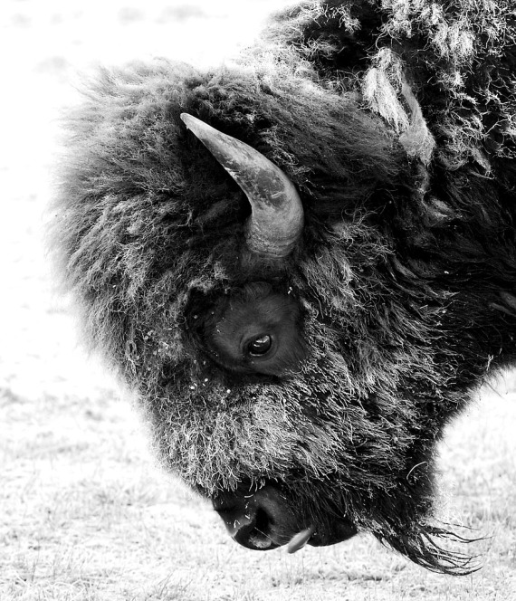 Bison Frosty face near Norris Yellowstone National Park WY IMG_7449