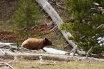 Black Bear cinnamon phase near Norris Yellowstone National Park WYIMG_6905