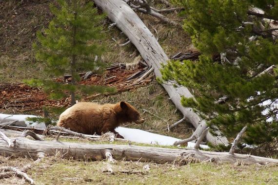 Black Bear cinnamon phase near Norris Yellowstone National Park WY IMG_6905