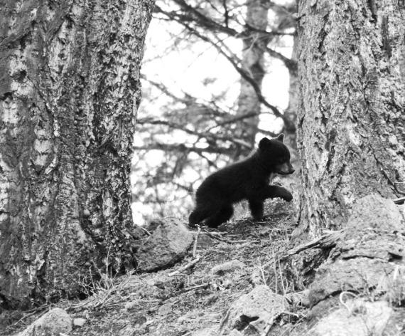 Black Bear cub B&W Rainy Lake Tower Junction Yellowstone National Park WYIMG_8339