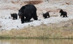 Black Bear sow with three cubs Rainy Lake Tower Junction Yellowstone National Park WYIMG_8395