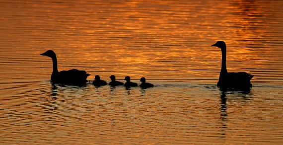 Canada Goose family sunset silhouette Blue Mounds State Park Rock Co MN IMG_0088