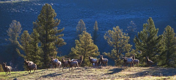 Elk herd frosty morning Mammoth to Tower Junction Yellowstone National Park WY IMG_8230