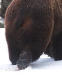Grizzly bear butt foot Fishing Bridge Yellowstone National Park WYIMG_9141