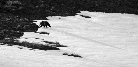 Grizzly shaddow B&W Narrows Hayden Valley Yellowstone National Park WYIMG_8031