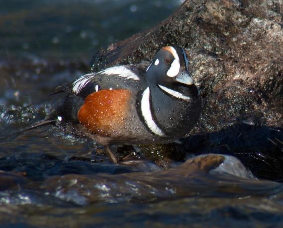 Harlequin Ducks LeHardy Rapids Yellowstone National Park WY IMG_7242