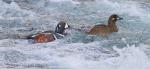 Harlequin Ducks LeHardy Rapids Yellowstone National Park WYIMG_7295