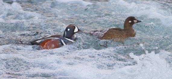 Harlequin Ducks LeHardy Rapids Yellowstone National Park WY IMG_7295