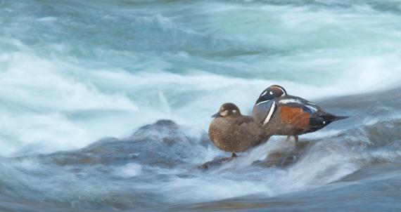 Harlequin Ducks LeHardy Rapids Yellowstone National Park WY IMG_7346