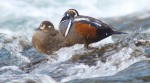 Harlequin Ducks LeHardy Rapids Yellowstone National Park WYIMG_7356