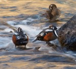 Harlequin Ducks LeHardy Rapids Yellowstone National Park WYIMG_7368