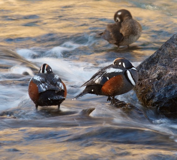 Harlequin Ducks LeHardy Rapids Yellowstone National Park WY IMG_7368