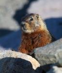 Hoary Marmot juvenile Yellowstone National Park WYIMG_7498