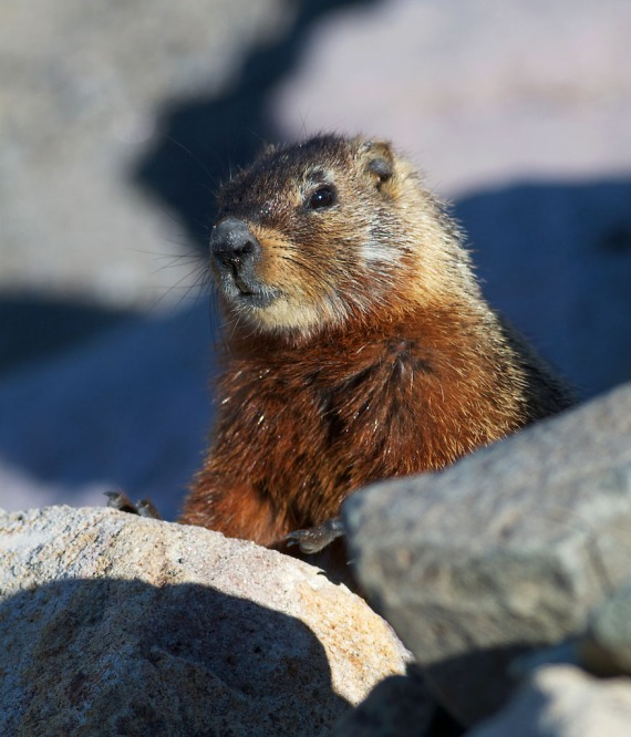 Hoary Marmot juvenile Yellowstone National Park WY IMG_7498