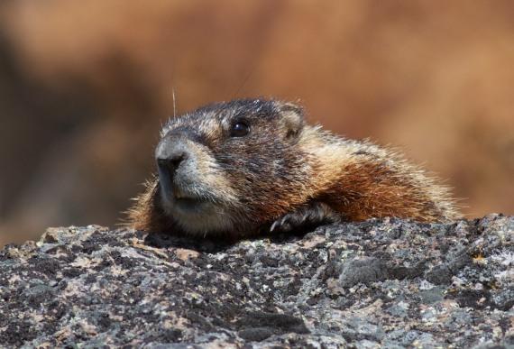 Hoary Marmot Marmota caligota near Norris Yellowstone National Park WY IMG_6935