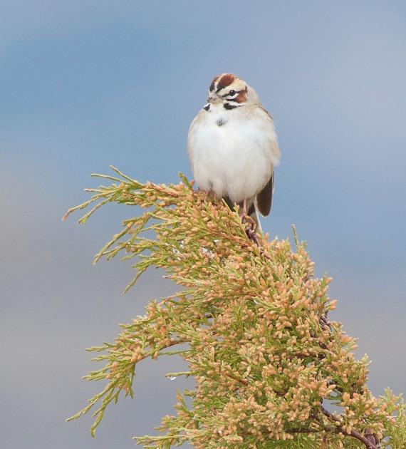 Lark Sparrow Theodore Roosevelt National Park ND IMG_9227