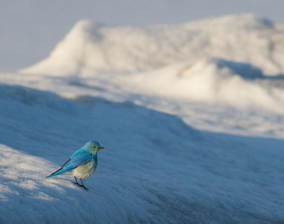 Mountain Bluebird on snow near Canyon Yellowstone National Park WY IMG_8187