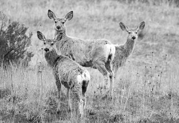 Mule Deer Theodore Roosevelt National Park ND IMG_9381