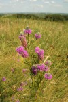 Purple Prairie Clover? 234_3452copy