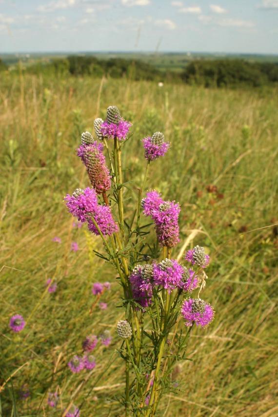 Purple Prairie Clover? 234_3452 copy