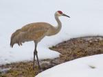 Sandhill Crane near Norris in snow Yellowstone National Park WYIMG_6898
