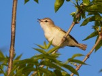 Warbling Vireo near swimming beach Blue Mounds State Park Rock Co MNIMG_0164