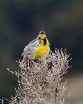 Western Meadowlark Theodore Roosevelt National Park NDIMG_9366