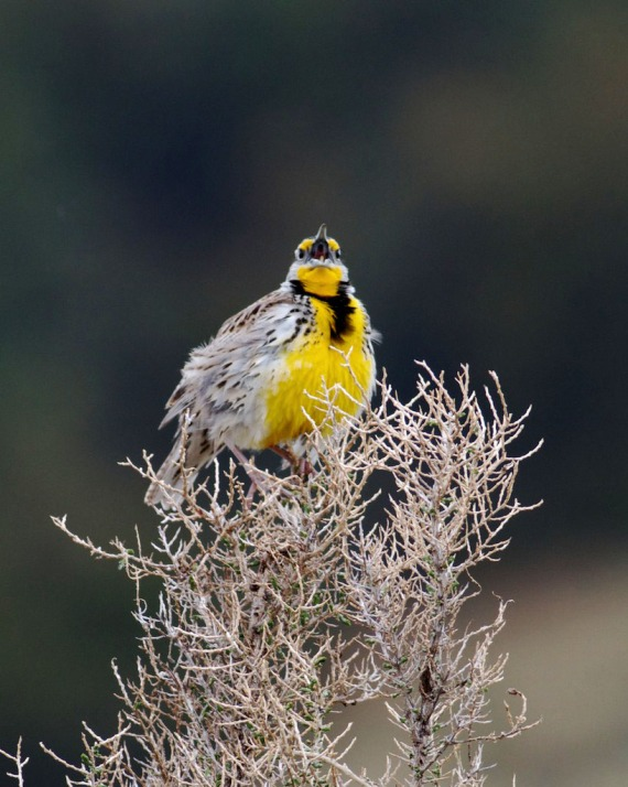 Western Meadowlark Theodore Roosevelt National Park ND IMG_9366
