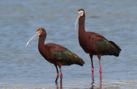 White-faced Ibis Hayden Valley Yellowstone National Park WY IMG_7087