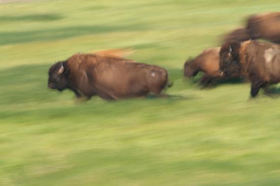 Bison run blur Blue Mounds State Park Luverne MN _MG_5157 copy
