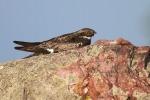 Common Nighthawk near Interpretive Center Blue Mounds State Park Rock Co MNIMG_9935