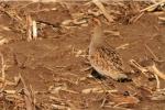 Gray Partridge near Blue Mounds State Park Rock CoMN
