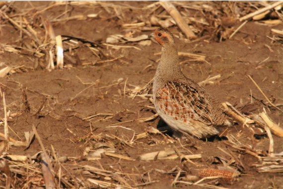 Gray Partridge near Blue Mounds State Park Rock Co MN