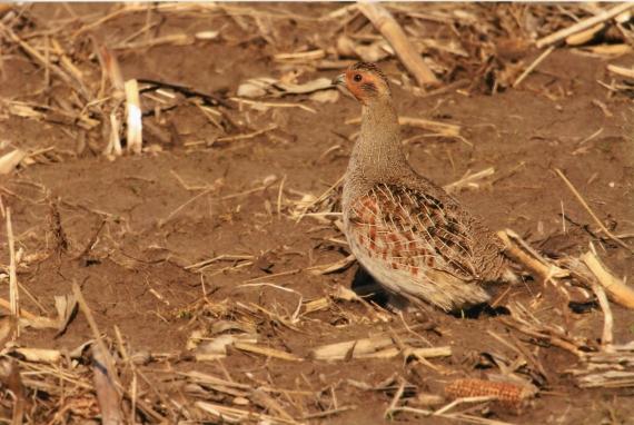 Gray Partridge near Blue Mounds State Park Rock Co MN