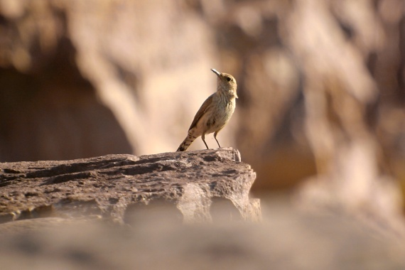Rock Wren BlueMoundsSP-Stensaas (1)