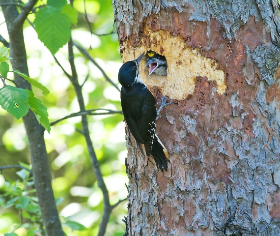 Black-backed Woodpecker feeds young Fond du Lac State Forest MN IMG_012381